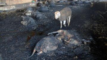 Animales arrasados por el incendio en Ribera d'Ebre