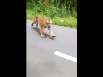 El tigre que persiguió a dos motoristas en India
