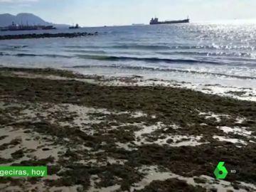 Un alga asiática invade las costas de Cádiz: los pescadores piden que se declare catástrofe medioambiental