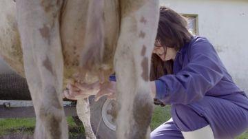 La jefa infiltrada ordeña una vaca en la ganadería de Torrelavega