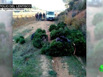 El bosque mediterráneo sufre un expolio de lentisco