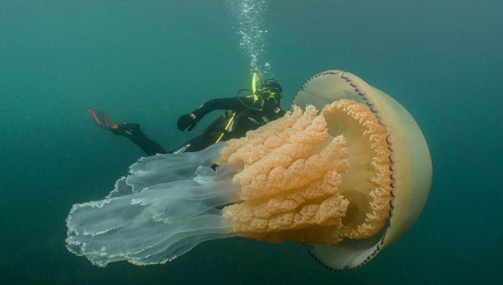 Encuentran una medusa gigante del tamaño de una persona a pocos metros de la costa