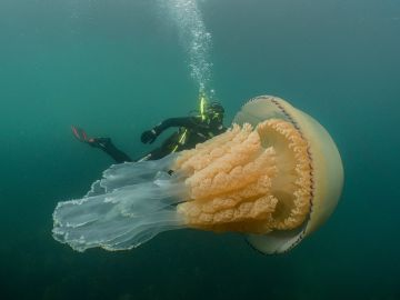 Medusa gigante cerca de la costa británica