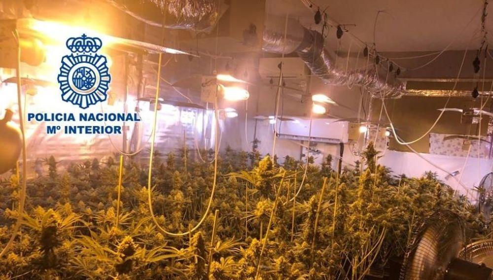 Las 265 plantas de marihuana intervenidas en Padul, Granada