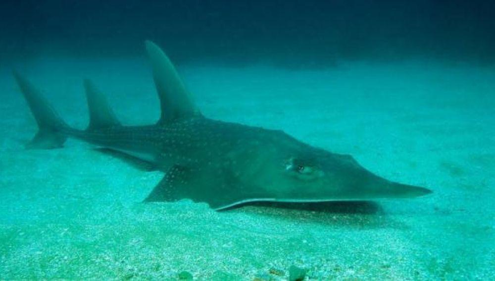 Imagen de una raya rinoceronte en el fondo marino