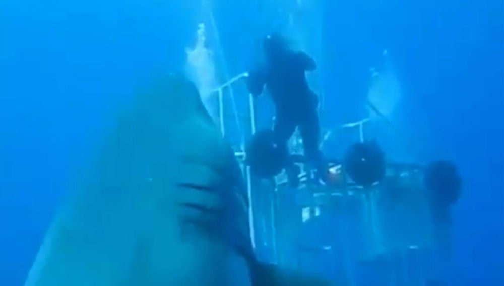 El tiburón blanco más grande del mundo