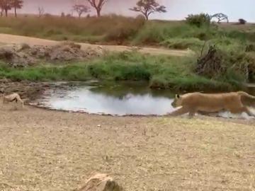 El espectacular recorte de esta gacela a un león que arrasa en las redes: lo firmaría el mismísimo Neymar