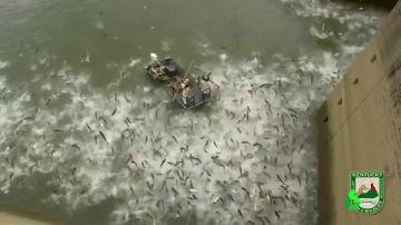 Electrocutan en Kentucky a una especie de carpa asiática invasora