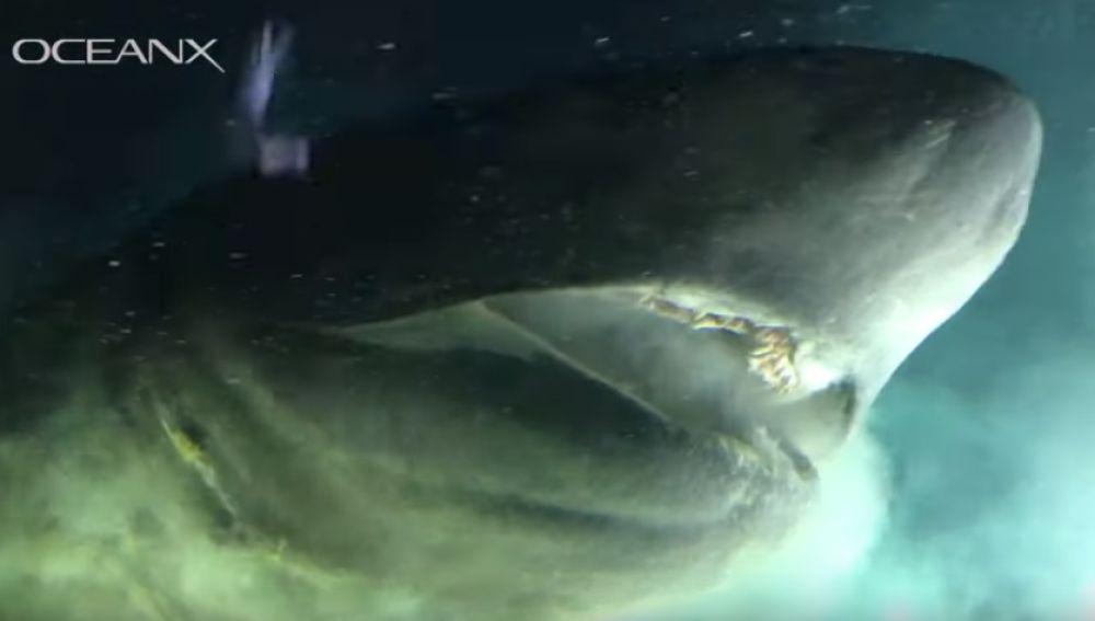 Parte de las imágenes recogidas por OceanX protagonizadas por un tiburón de peinetas.