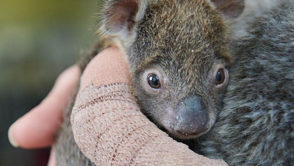 Joey, el adorable koala