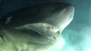 Cabeza del tiburón gigante encontrado por los científicos