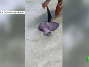 Rescate de un pez raya en una playa de Murcia