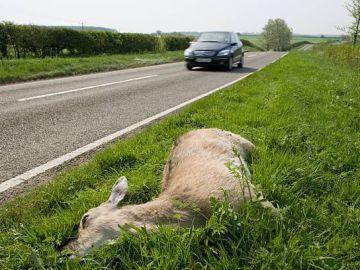 Animal muerto en un accidente de carretera