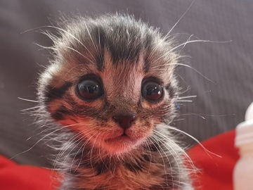 Nano, gatito con las orejas mutiladas