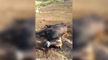 Vaca calcinada por un rayo