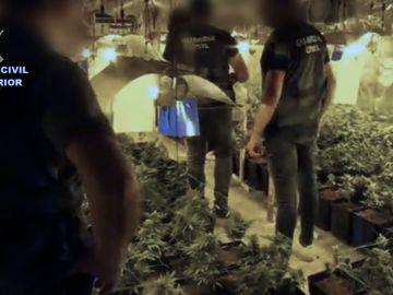 Plantación de marihuana incautada por la Guardia Civil
