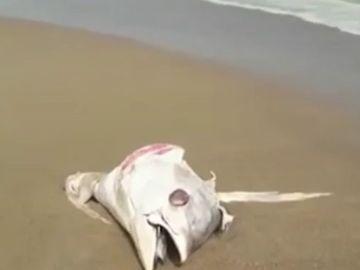 La llegada de atunes muertos a la orilla por el temporal obliga a cerrar las playas de La Manga