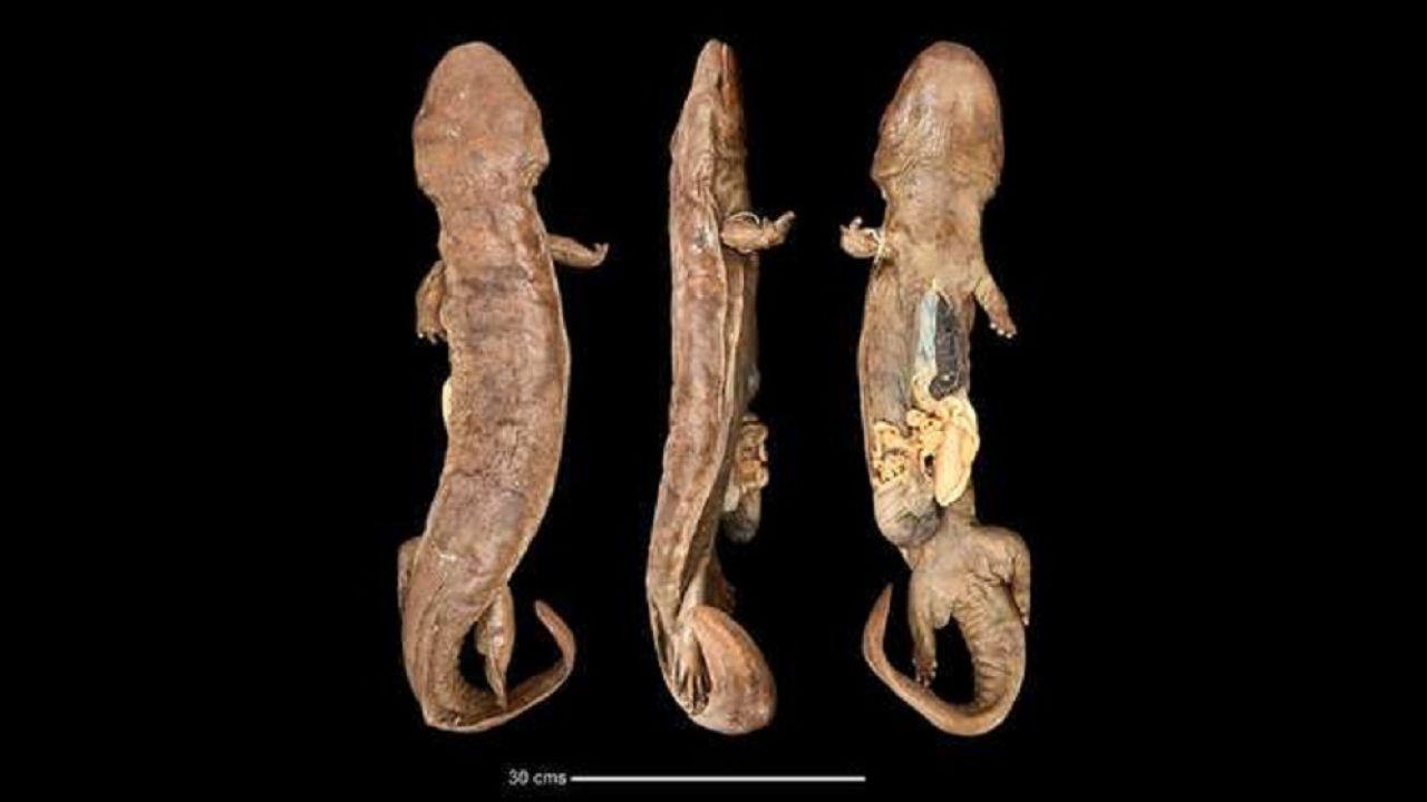 Descubren el anfibio más grande del mundo: una salamandra gigante china