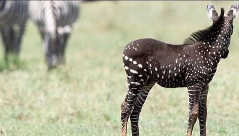 El inusual ejemplar de cebra con puntos visto en Kenia