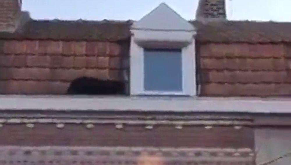 Capturan a una pantera negra que se paseaba por los tejados de la localidad francea de Lille