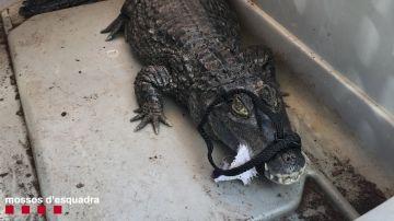 Los Mossos denuncian a una tienda de Barcelona que vendía un caimán de más de un metro.