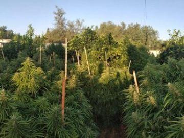 Imagen de la intervención de los agentes en la plantación