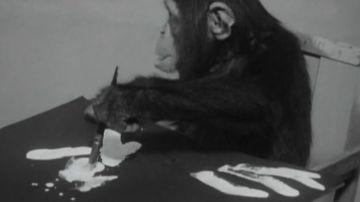 Congo, el chimpancé pintor del que se enamoraron Picasso y Miró