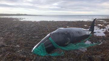 La ballena que quedó atrapada entre unas redes de pesca