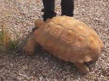 Imagen de la tortuga encontrada en una rotonda de Ciudad Real