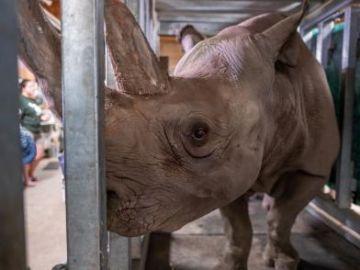 Una rinoceronte negra se queda embarazada en un zoo de Michigan