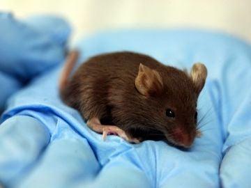 Los primeros ratones nacidos con telomeros hiperlargos viven un 13 mas