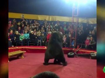 Un oso ataca a su domador durante una función de circo en Rusia