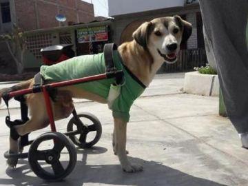 Imagen de Rocky, el perro al que robaron su silla de ruedas en Perú