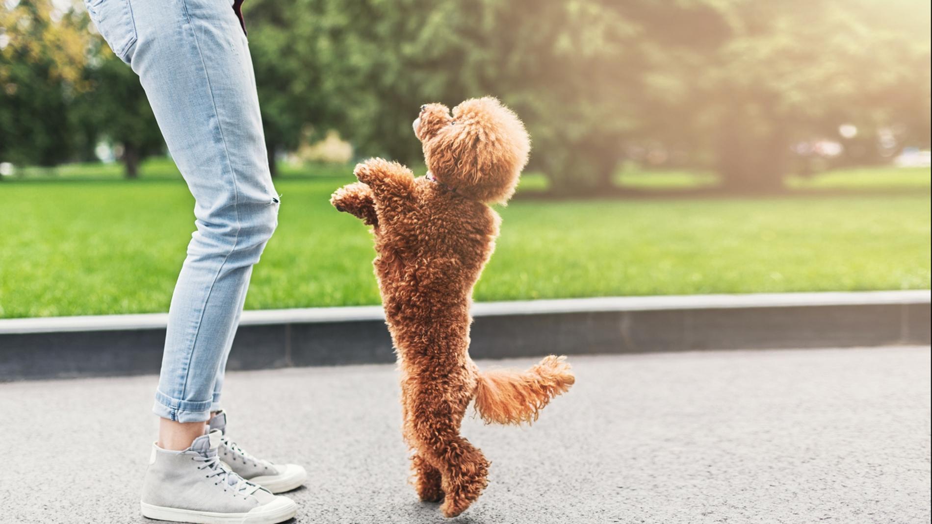 Un caniche toy y su dueño