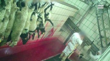 Imagen del maltrato animal en un matadero de Segovia