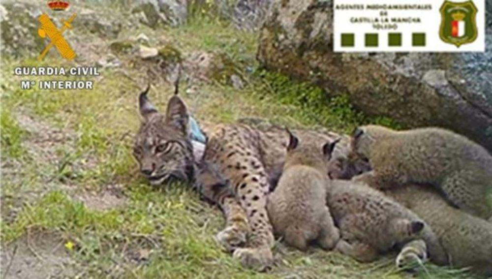 Cazador mata a lince con crías en peligro de extinción; harán justicia