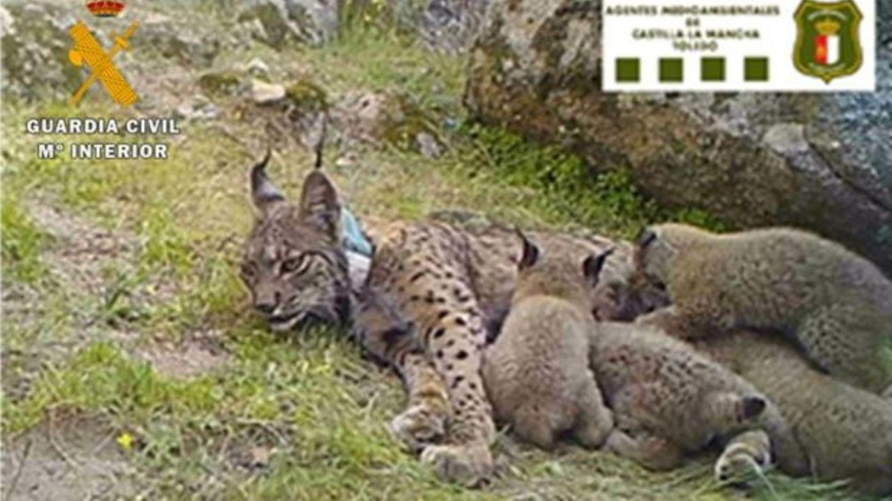 La lince Nenúfar con sus cuatro crías