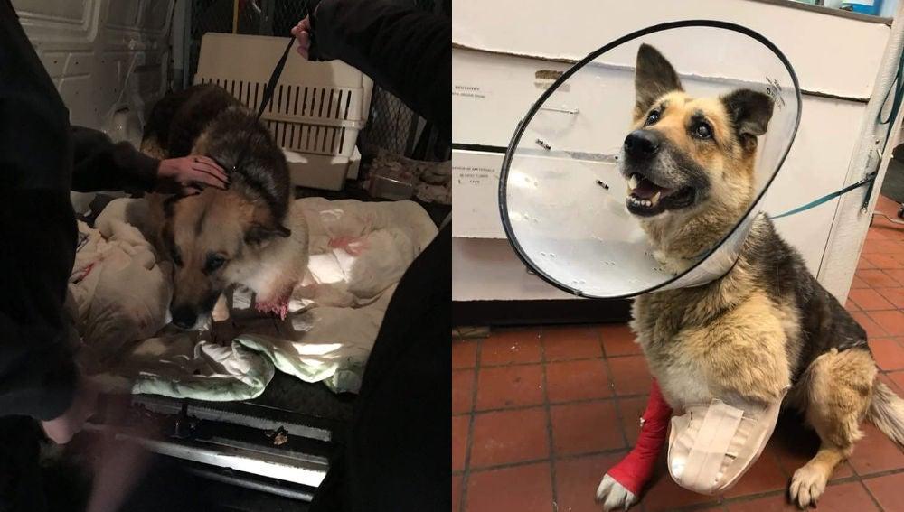 Zoe, la perra herida en su pata izquierda.