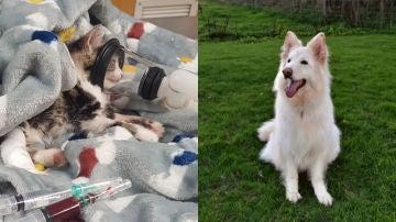 Imágenes de la gata tras su recuperación y de la perra que le donó su sangre.