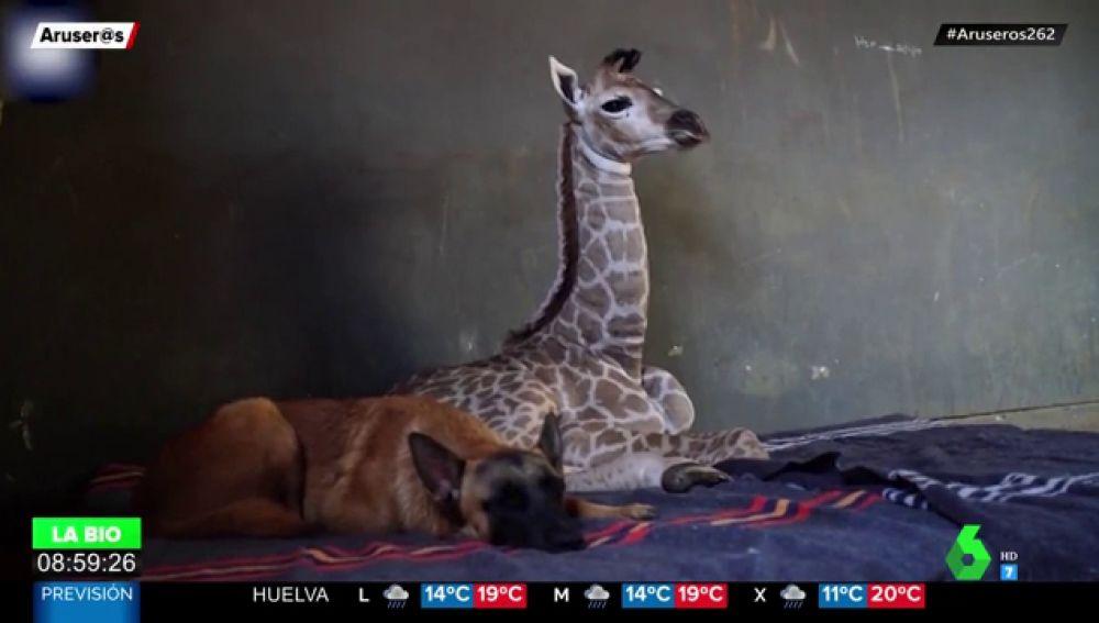 Un perro se vuelve amigo de una jirafa en Estados Unidos