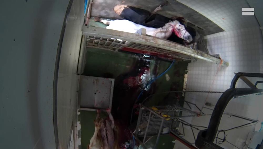 El impactante vídeo del maltrato animal en un matadero de Caudete, Albacete