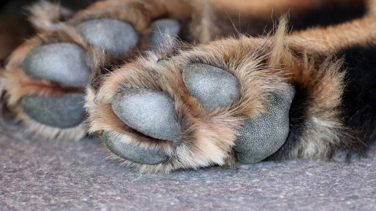 Imagen de archivo de las patas de un perro
