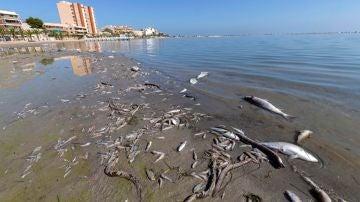 Decenas de peces muertos en las playas del Mar Menor