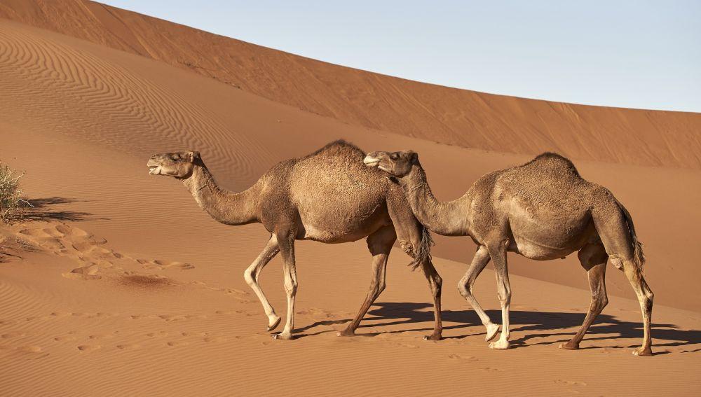 La leche de camella mejor que la de vaca