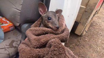 El conmovedor rescate de un bebé canguro que estaba a punto de morir en los incendios de Australia