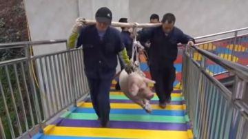 Imagen de los operarios transportando al cerdo para lanzarlo