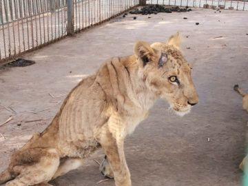 Una leona desnutrida en el zoológico de Jartum, Sudán