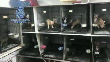 Desmantelan dos criaderos ilegales de chihuahuas en Madrid: hacinados y con las cuerdas vocales seccionadas