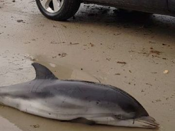 Imagen de un delfín varado en la Comunidad Valenciana
