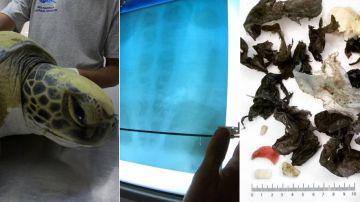 Imagen de una tortuga rescatada tras ingerir plásticos